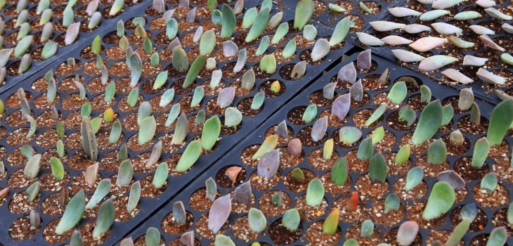 When To Plant Propagated Succulents