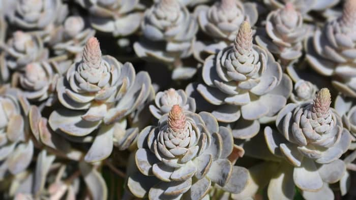 Orostachys Chinese Hat